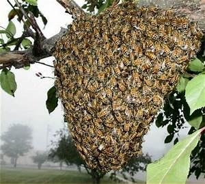 Essaim De Frelon : essaim d 39 abeilles sur toulouse et sa r gion sam ~ Melissatoandfro.com Idées de Décoration