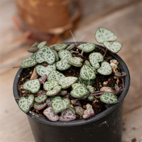 4 String Of Hearts Ceropegia Woodii Indoor Plants