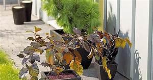 Bäume Für Balkon : mini b ume f r terrasse und balkon mein sch ner garten ~ Michelbontemps.com Haus und Dekorationen