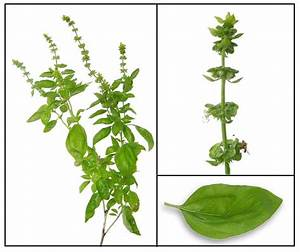Ocimum Basilicum L. | www.pixshark.com - Images Galleries ...