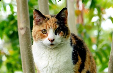 calico kittens cat facts need things