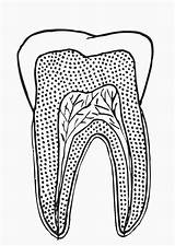 Colorear Diente Dibujo Seccionado Imprimir Dibujos Tooth sketch template