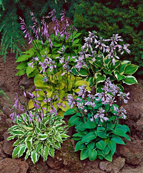 Patio Or Decking by Buy Hardy Perennials Now Hosta Mixed Bakker Com
