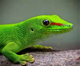 Green Gecko Lizard