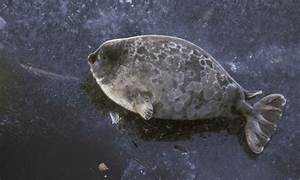 WWF digs a safe home for endangered freshwater seals ...