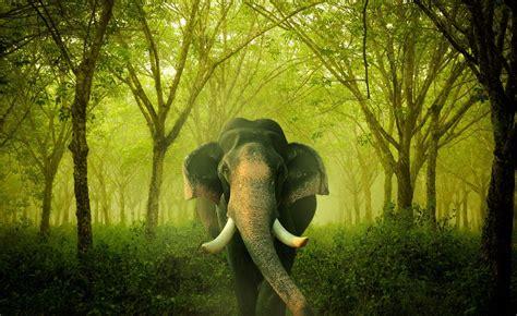 Elephant Wallpapers Free Hd Desktop Background