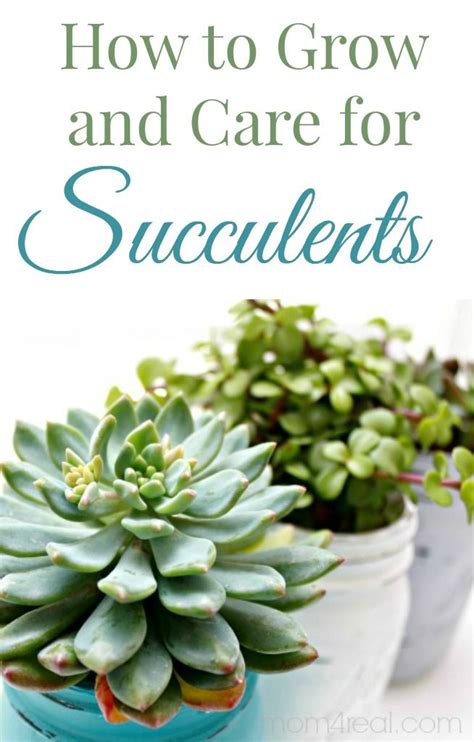 how to take care of a succulent 25 best ideas about succulent care on pinterest indoor succulents succulents and propagating