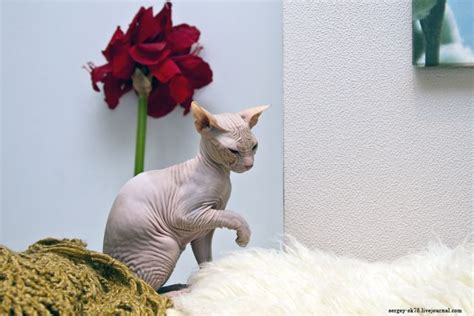 bold cat bold sphynx cats 23 pics
