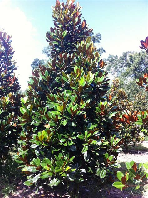 types of magnolia trees in florida southeastern trees plantant com