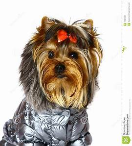Yorkshire Terrier In Winter Clothes. Stock Image - Image ...