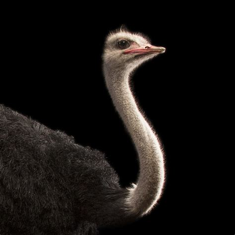 ostrich national geographic