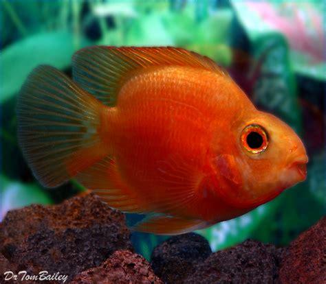 blood parrot fish blood parrot for sale aquariumfish net
