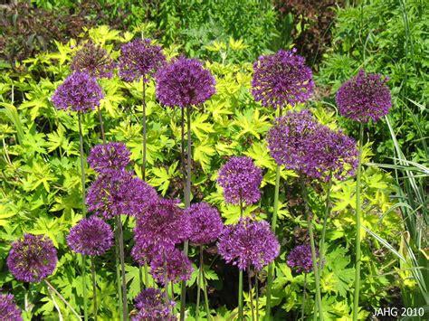 what are alliums allium hollandicum name that plant