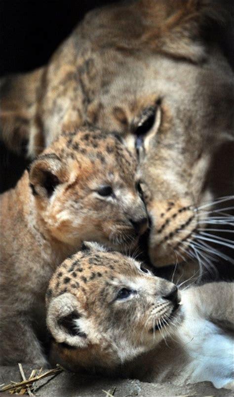 baby lions     day   roar pinterest