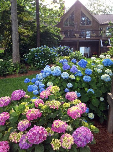 Hostas and Hydrangeas - FineGardening