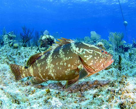 nassau grouper bahamas endangered protected fish reef vulnerable groupers coral florida threats reefs