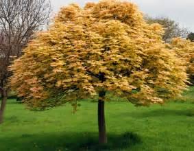 acer pseudoplatanus 39 brilliantissimum 39 cox garden designs