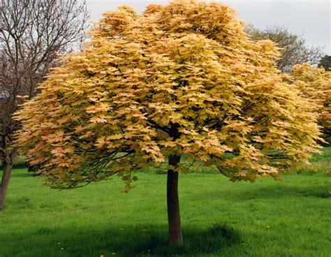 small trees for the garden trees for small gardens lisa cox garden designs blog