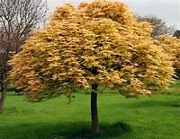 small trees for landscaping Acer pseudoplatanus 'Brilliantissimum' | Lisa Cox Garden ...