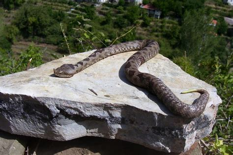 Are There In Greece how many snakes are in greece quora