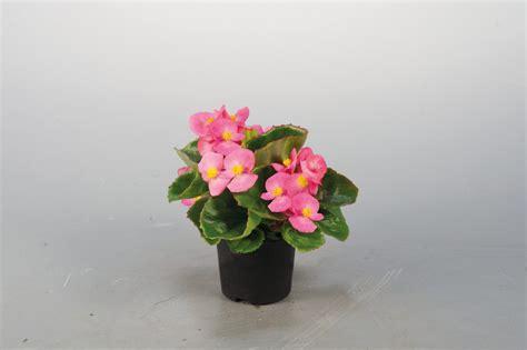 begonia semperflorens super olympia rose annual benary