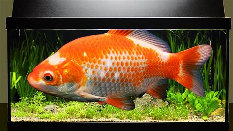 fische ins aquarium einsetzen wie viele fische passen ins aquarium