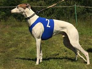 The gallery for --> Italian Pitbull Dog