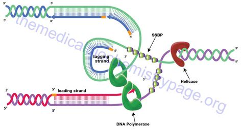 okazaki fragment dna synthesis replication chromatin structure