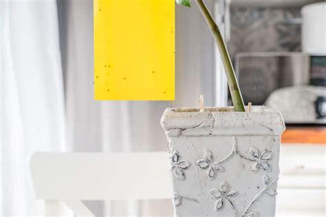 comment tuer les moucherons dans la cuisine moucheron cuisine solution comment se débarrasser des