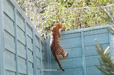 Keep Cats In Backyard by Five Ways To Let Your Cat Outside Safely Bengal Cat World