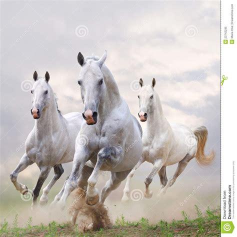 paarden witte stof brancos horses cavalos caballos bianchi cavalli poeira polvo wit dust polvere blancos vrije imagens