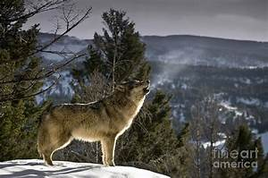 Wolves Nature Song Photograph by Wildlife Fine Art