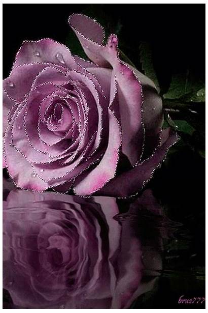 Roses Water Rose Flowers Heart Purple Flower