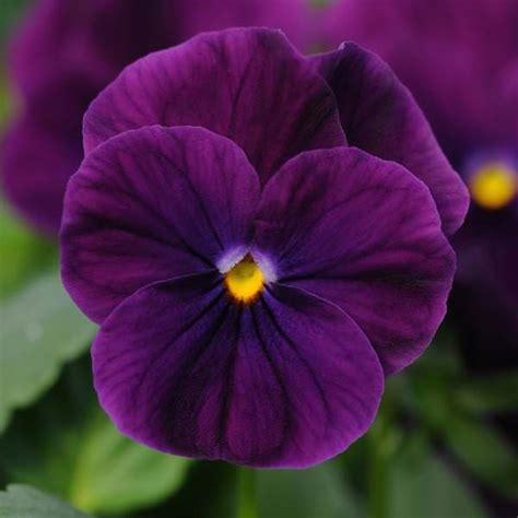 sorbet violas viola seeds 26 violas annual flower seeds s g s