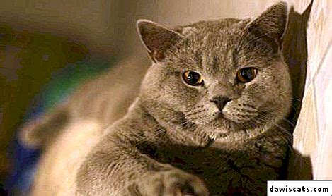 🐈 Kā barot britu kaķi: 5 no labākās barības + dabīgā pārtika