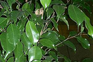 Ficus Benjamini Verliert Alle Blätter : zimmerpflanzen jetzt richtig pflegen radio salzburg ~ Lizthompson.info Haus und Dekorationen
