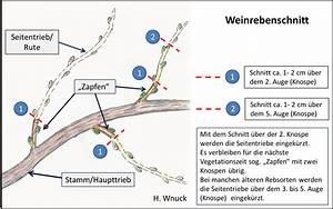 Weinreben Schneiden 1 Jahr : gartenfreunde b blingen e v januar februar 2015 ~ Lizthompson.info Haus und Dekorationen