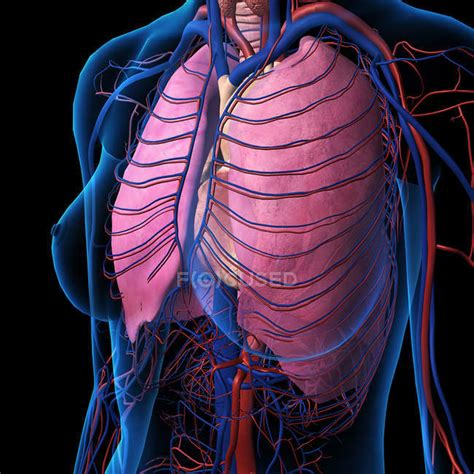 An emphasized chest translates to good health, which. Diagram Of Female Chest : Frontal View Of Female Chest And Abdominal Muscles Anatomy In Blue X ...