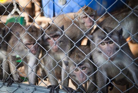 monkey  section abortions performed   veterinarians