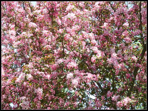 how to prune crabapple tree flowering crabapple tree bing images