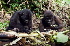 Eating Habits - Mountain Gorillas