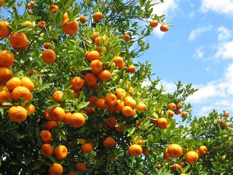 grow citrus  zone  learn  citrus trees  zone  gardens