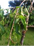Weeping Cherry Tree Le...