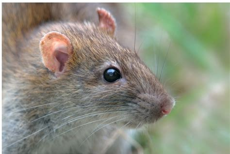 comment se d 233 barrasser des rats le plus naturellement possible bio consom acteurs