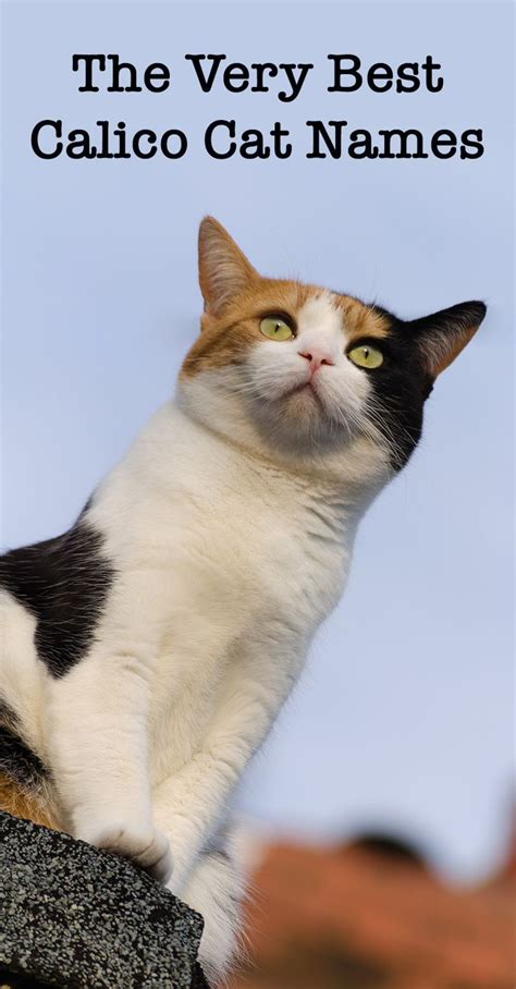 calico names the 25 best calico cat names ideas on pinterest tortoiseshell cat tortoiseshell cat names