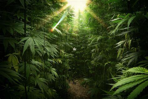Marijuana Backgrounds Marijuana Wallpaper 44 Images
