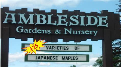japanese nursery maples garden gardens ambleside