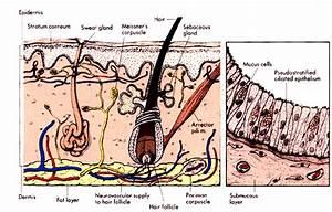 Parts Of The Skin  Lower Dermis  Dermis  Epidermis