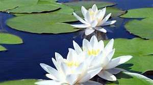 White Water Lily  Sharpened Senses  Acuity Of Vision