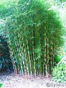 Bambus Pflanzen Kübel : hoher heckenbambus fargesia robusta pingwu 39 pflanzen enzyklop die ~ Frokenaadalensverden.com Haus und Dekorationen